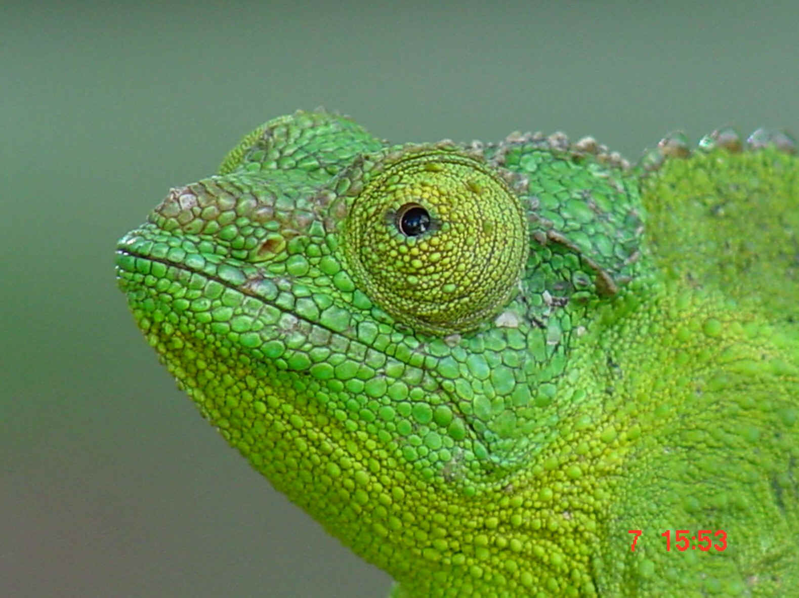 Male jackson chameleon - photo#28